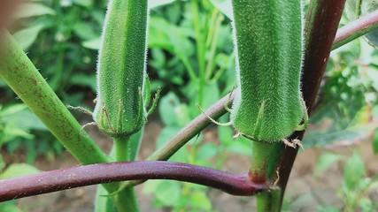 Okra plant close up organic produce food farming