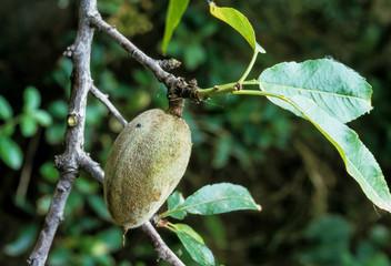 Amande, amandier, Prunus dulcis, culture, Aragon , Espagne
