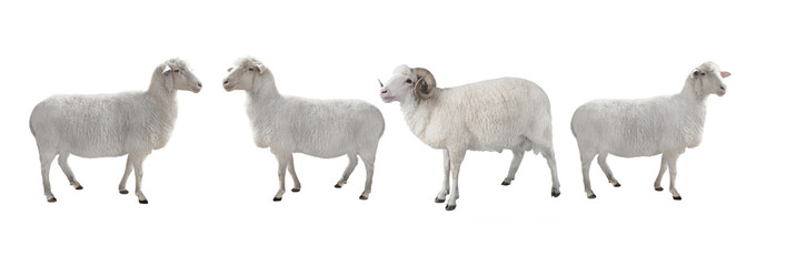 white ram and sheep isolated