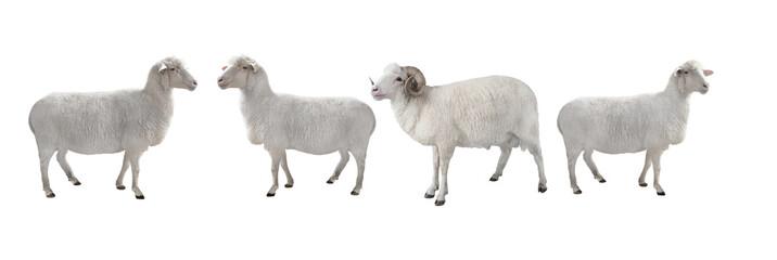 Foto op Plexiglas Schapen white ram and sheep isolated