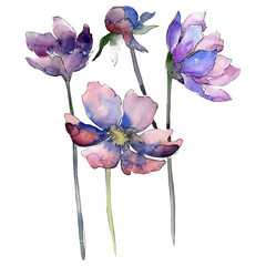 Purple cosmos flower. Watercolor background set. Isolated cosmos flower illustration element.