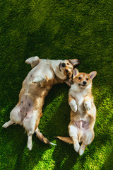 Fototapeta top view of two adorable welsh corgi dogs laying on green lawn obraz