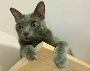 Un Korat, chat de race thaïlandaise, sur une étagère proche du plafond