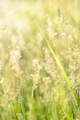 Natural background of field grass. Green meadow. Soft focus.