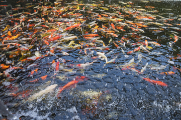 colorful Japanese koi carp swimming in the pond