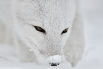 Young Arctic fox sniffs in the snow