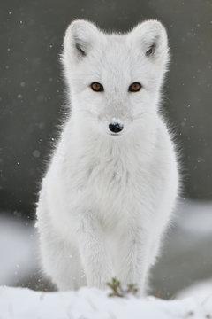 Portrait of Arctic fox at Dovrefjell Sunndalsfjella National Park