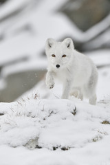 Young Arctic fox in snowy mountain landscape