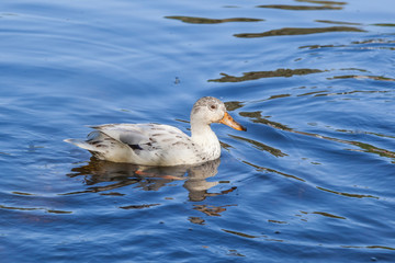 white duck swims in the lake