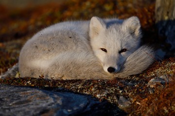 Young Arctic Fox resting in mountain landscape