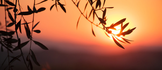 Silhouette of olive branch on the background of the setting sun in Tuscany