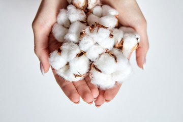 Heap of white cotton flowers in the palms of woman