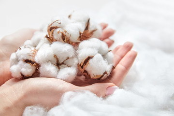 White cotton flowers in the hands