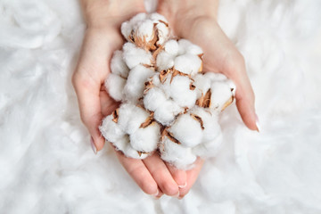 Heap of white cotton flowers in the gentle hands of woman