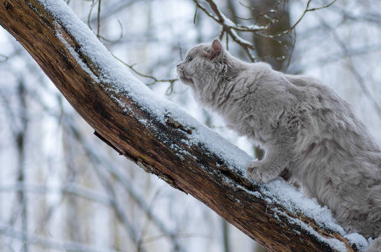 A cat in the forest climbs a snowy tree trunk. Fluffy cat in the winter forest.