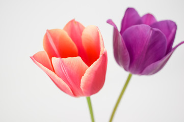 red and purple tulips still life - white background