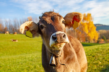 Kuh Süß