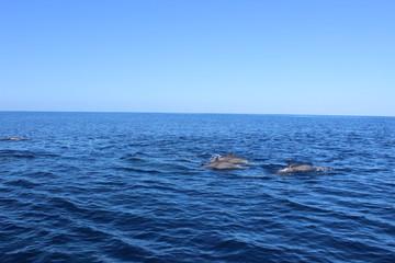 Dauphins en liberté dans les caraïbes