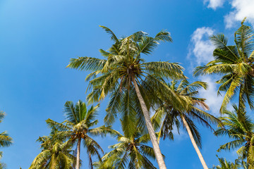 Green palm tree against blue sky and white clouds on a tropical beach