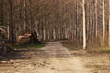 Foret d'arbres droit en nature