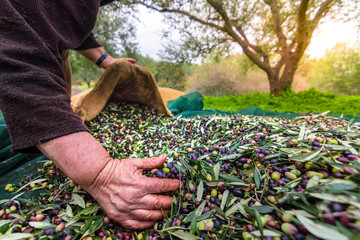 Harvested fresh olives in sacks in a field in Crete, Greece for olive oil production, using green nets. Wall mural