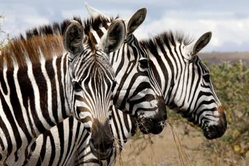 Zebras are seen at the Nairobi National Park, near Nairobi