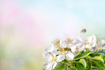 honey bee collecting pollen on white apple. Spring time background