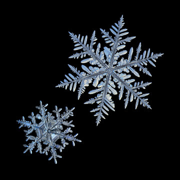 Two snowflakes isolated on black background. Macro photo of real snow crystals: elegant stellar dendrites with ornate shapes, glossy relief surface, hexagonal symmetry and complex inner structures.