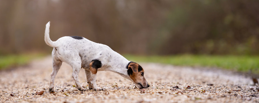 Jack Russell Terrier Cute dog is following a trail