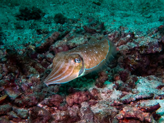 A Common Reef Cuttlefish (Sepia latimanus) in the Indian Ocean