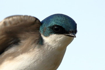 A male Tree Swallow keeps an eye out for danger from his perch near the nest box.