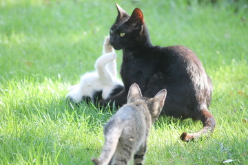 cat on grass mom and kittens