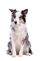 Old border collie dog