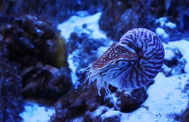 TheChambered nautilus (Nautilus pompilius) in neon light in aquarium