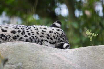 Leopard big cat close view outdoors