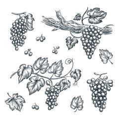 Grape on vine vector sketch illustration. Hand drawn isolated design elements