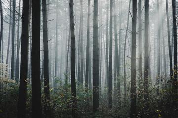 Mysterious, gloomy forest in the morning mist, autumn season