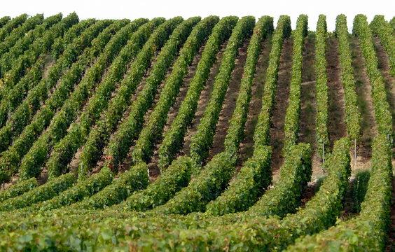Vigne et raisins, ville d'Epernay, vignoble de champagne, département de la Marne, France
