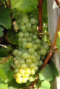 Ville d'Epernay, grappe de raisins blanc, vignoble de Champagne, département de la Marne, France