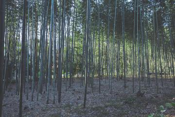 京都 竹林の風景