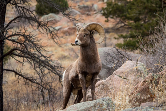 A bighorn sheep stands alert on a boulder while chewing on grass.
