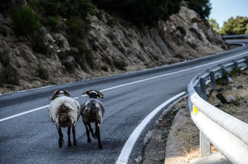 Goats walking down a road