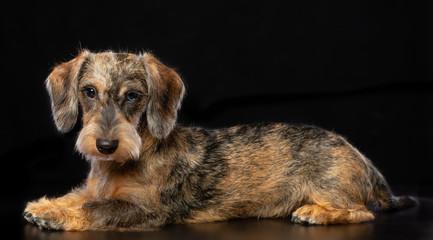 Coarse dachshund dog on Isolated Black Background in studio