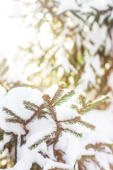 Green branches of a Christmas tree covered with white snow in the sunlight. Natural winter background