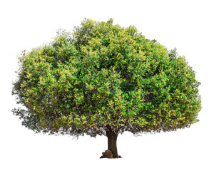 Argan tree isolated