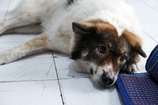 Thai friendly bangkaew dog breed wait for food