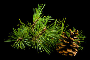 green branch of a tree with cones isolated on a black background
