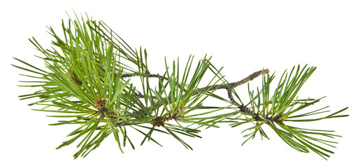 green pine branch isolated on white background