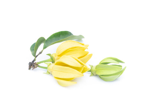 Ylang-Ylang flower,Yellow fragrant flower on white background.