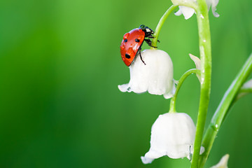 ladybug sits on a flower of a lily of the valley
